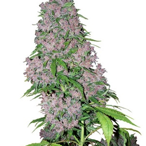 Purple Power Feminizada